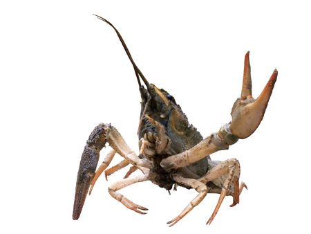 Crayfish with cocked hand on white background photo