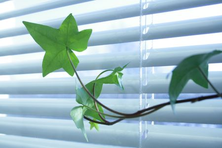 jalousie: Green ivy on background with window and jalousie