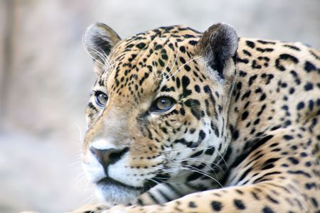 bigodes: Close-up of nice spotty leopard muzzle with white whiskers