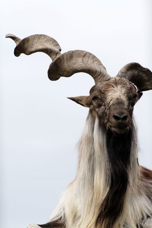 billygoat: Close-up of nice markhoor muzzle with long twisted horn and beard Stock Photo