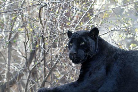 black jaguar: Close-up of big black leopard isolated on spring forest background Stock Photo