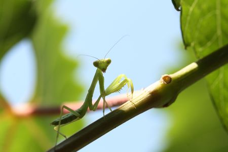 Praying mantis isolated on green nature background photo