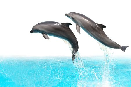 Two dolphins are jumping out of the water isolated on white background