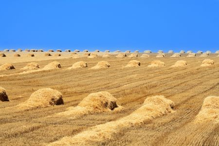 Nice yellow farm field with haystacks on blue sky background  photo
