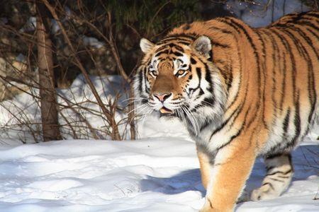 bosque con nieve: Detalle de tigre siberiano agradable sobre fondo con bosque de invierno