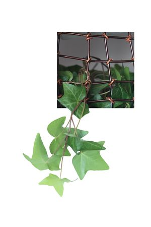 Green home plant growing through a window with metal grating. Isolated on white Stock Photo - 6690532