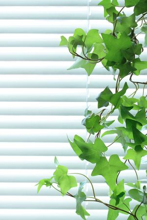 convolvulus: Nice long green ive on background with closed metal blinds Stock Photo