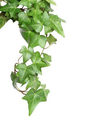ivies: Nice green ivy