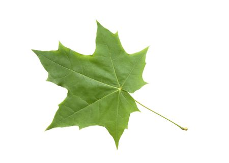 juharfa: Green maple leaf