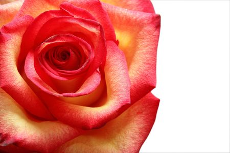 multy: Closeup of nice motley rose Stock Photo