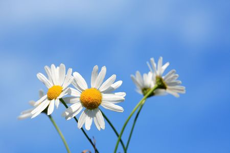 Few daisy flowers on background with blue sky Stock Photo - 7883433