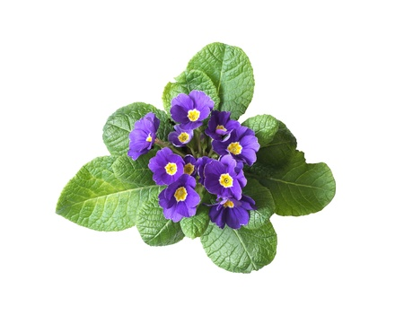 pansy: Nice violet flower isolated on white background
