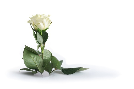 disrupt: White rose inside hole on paper background. Clipping path is included