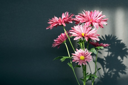 still life flowers: Bunch of nice pink daisy on dsrk background with lightint sun effect