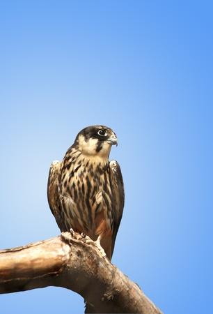 merlin falcon: Kestrel sitting on a wooden log against a blue background.