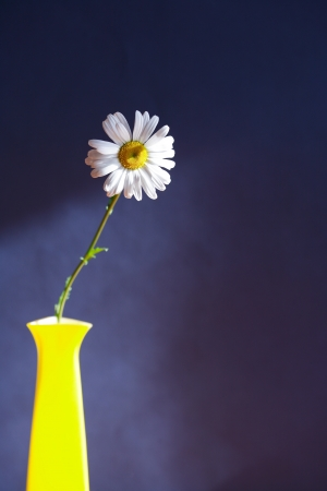 Still life with oxeye daisy in high yellow vase on dark background photo