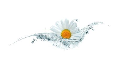 spruzzi acqua: Estate concetto. Bella testa margherita in spruzzi d'acqua