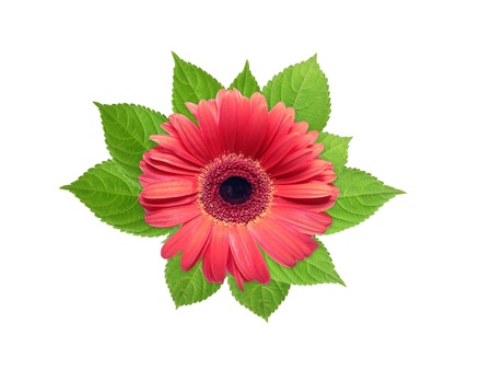 Nice design element. Beautiful red flower head lying on freshness green leaves photo