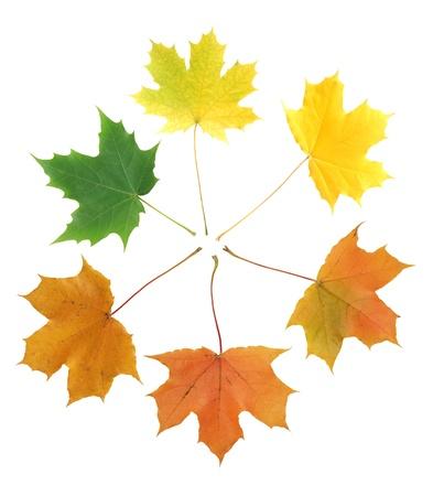 Saison-Konzept. Nur wenige verschiedene Ahorn-Blätter von grün bis braun auf weißem Hintergrund