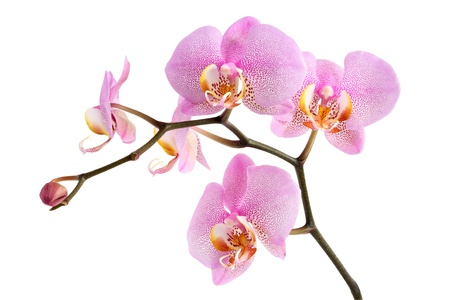 Closeup of beautiful purple orchid on white background.