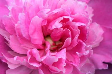 Closeup of beautiful pink peony. Nice background photo