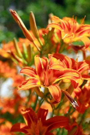 Beautiful orange day lilies closeup. Nice background photo