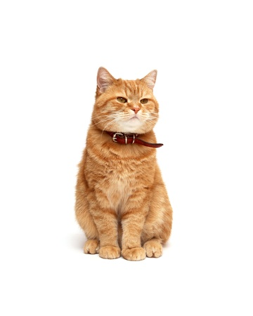 Ordinary domestic ginger cat on white background photo