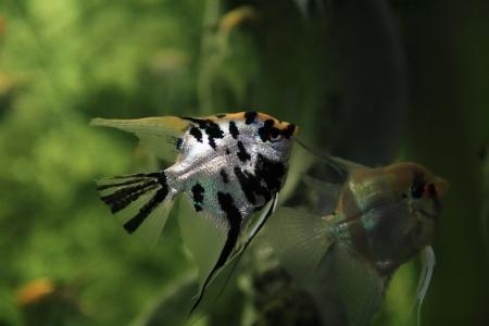 scalar: Pair scalars in aquarium on green Stock Photo