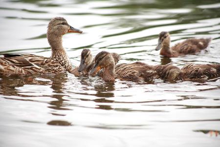 agachado: Concepto de maternidad. Pato salvaje con sus cloqueos en superficie del agua