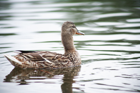 agachado: Wild primer pato en la superficie del agua Foto de archivo