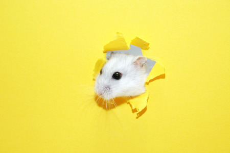 suddenness: Escape concept. Funny white hamster head inside hole in yellow paper Stock Photo