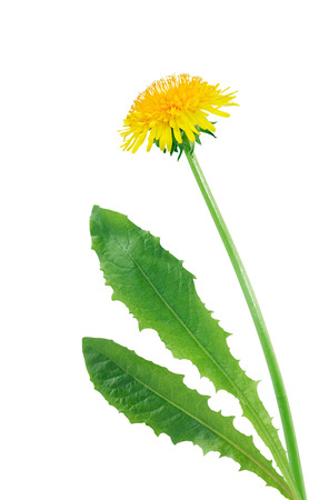 dandelion: Beautiful dandelion with long stem on white background