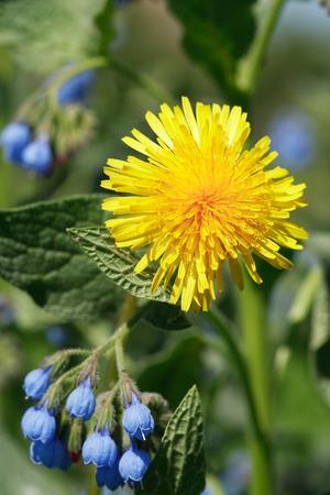 Wildflower: Closeup of yellow dandelion near blue wildflower on green background