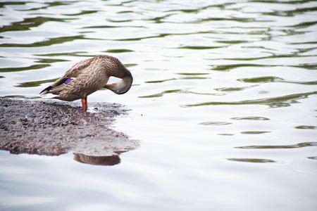 agachado: Salvaje primer pato de pie en piedra en el agua