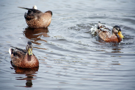 agachado: Pocos patos salvajes nadando en la superficie del agua