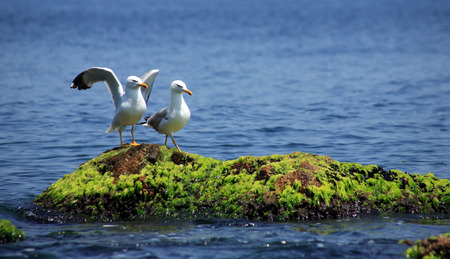 courtship: Courtship concept. Two gulls in love on nice green stone in blue sea