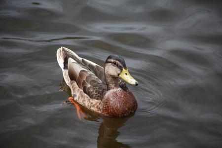 agachado: Una natación del pato salvaje en la superficie del agua bajo la luz solar