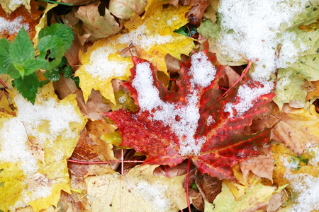 fall winter: Between fall and winter. First snow on background with various fall leaves