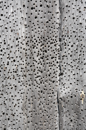 holey: Background made from holey dry gray wooden planks Stock Photo