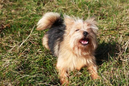 A small bravery dog barking on grass under sunlight