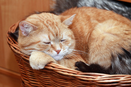 cosiness: Ordinary domestic ginger cat slipping in wicker basket