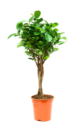 Nice ficus in flower pot on white background