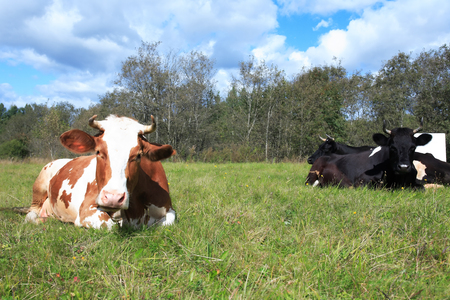 pastureland: Farming landscape. Cow on green grass against forest and sky