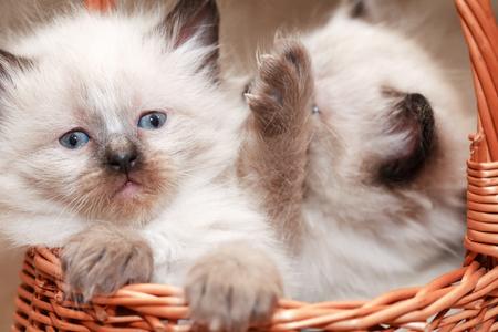 Nice small kitties in wicker basket on canvas background