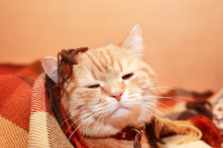 Closeup portrait of nice ginger domestic cat under plaid