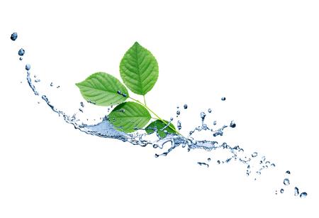 Feuilles vertes de fraîcheur avec des éclaboussures d'eau sur fond blanc