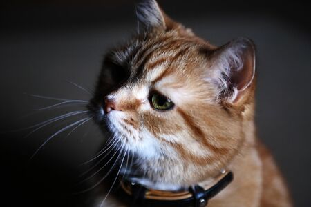 Nice ginger cat portrait against dark background