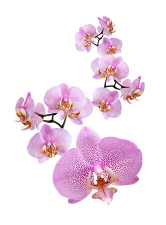 Closeup of beautiful purple orchid on white background