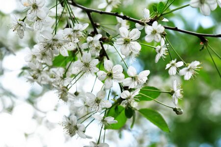 Nice white cherry flowers blossom in springtime Фото со стока