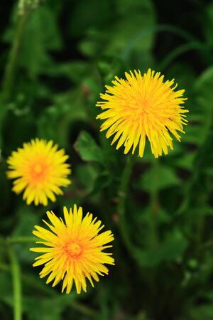 Nice yellow dandelion flowers against green grass background